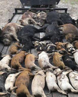Hog Trapping Florida Feral hog Control
